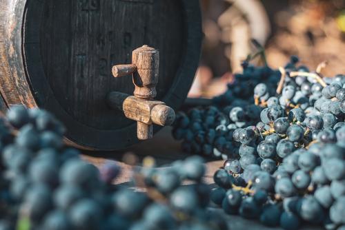 Wine barrel with blue Cabernet grapes in harvest season Old Agriculture Alcoholic drinks Oak barrel Beverage bottled Cabernet Franc Keg Cellar Culture Drinking