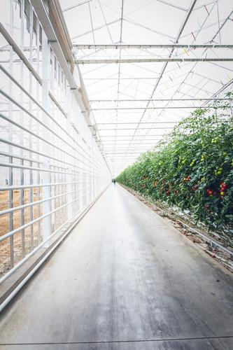 Mega Tomatoes Greenhouse Food Vegetable Tomato plantation Plant Breed Nutrition Eating Picnic Organic produce Vegetarian diet Diet Fasting Slow food Lifestyle