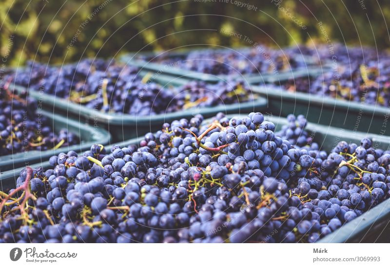 Blue vine grapes in the crates, harvest season, autumn Food Fruit Nutrition Beverage Alcoholic drinks Wine Healthy Eating Agriculture Forestry Culture Nature