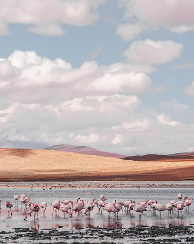 Beautiful lagoon in southern Bolivia with lots of pink flamingos Landscape Animal Sand Water Clouds Drought Hill Bog Marsh Wild animal Flamingo Herd Simple