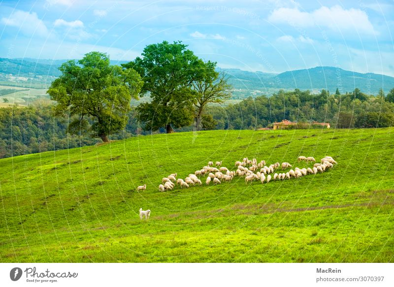 Flock of sheep in the Crete Tourism City trip Summer Summer vacation House (Residential Structure) Animal Grass Bushes Foliage plant Meadow Field Hill Village