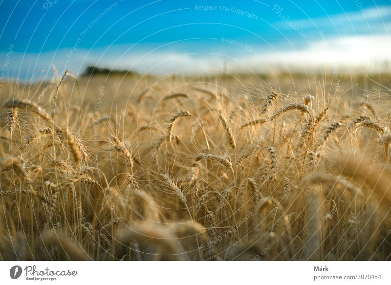 Wheat field against a blue sky Grain Bread Summer Nature Landscape Plant Sky Clouds Sunlight Field Growth Large Hot Hip & trendy Natural Blue Yellow Gold