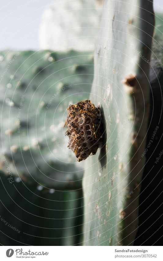 Wasp nest on a cactus leaf Garden Nature Plant Protection Nest nectar honeybee insect petal Planning wasp wings sunny Pollen stinger stings green Bow bumblebee