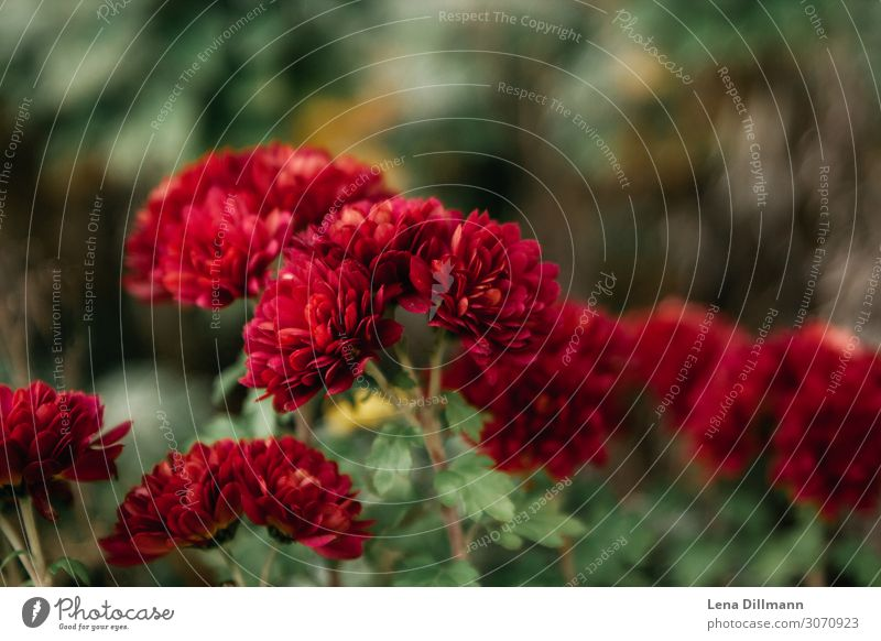 Red Chrysanthemum Garden Environment Nature Plant Flower Blossom Foliage plant Wild plant Blossoming Growth Esthetic Fragrance Elegant Fresh Healthy Natural