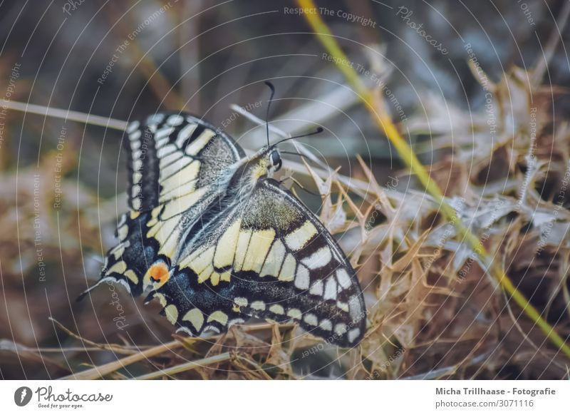 Swallowtail on a dried meadow Environment Nature Animal Sunlight Plant Grass Meadow Wild animal Butterfly Animal face Wing Feeler Head Eyes 1 Sit Faded