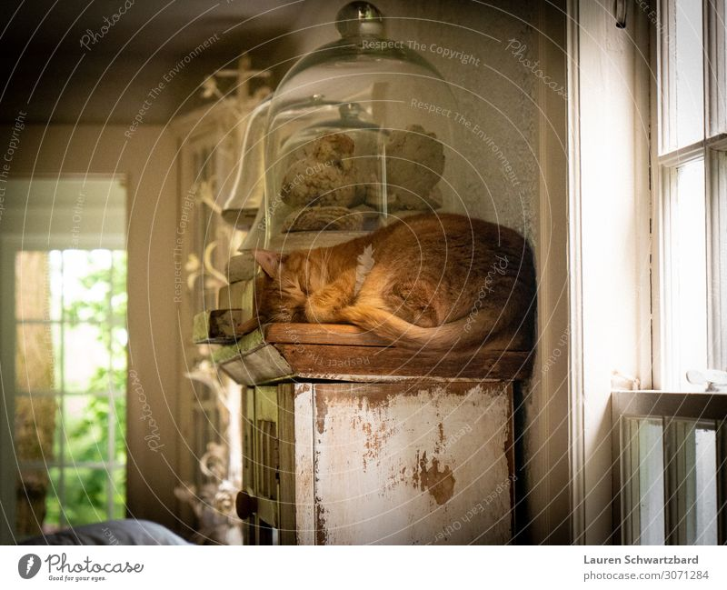 Snoozing on the Shelf Cat White Relaxation Animal Calm Healthy Wood Yellow Natural Happy Orange Living or residing Contentment Gold Lie Glass