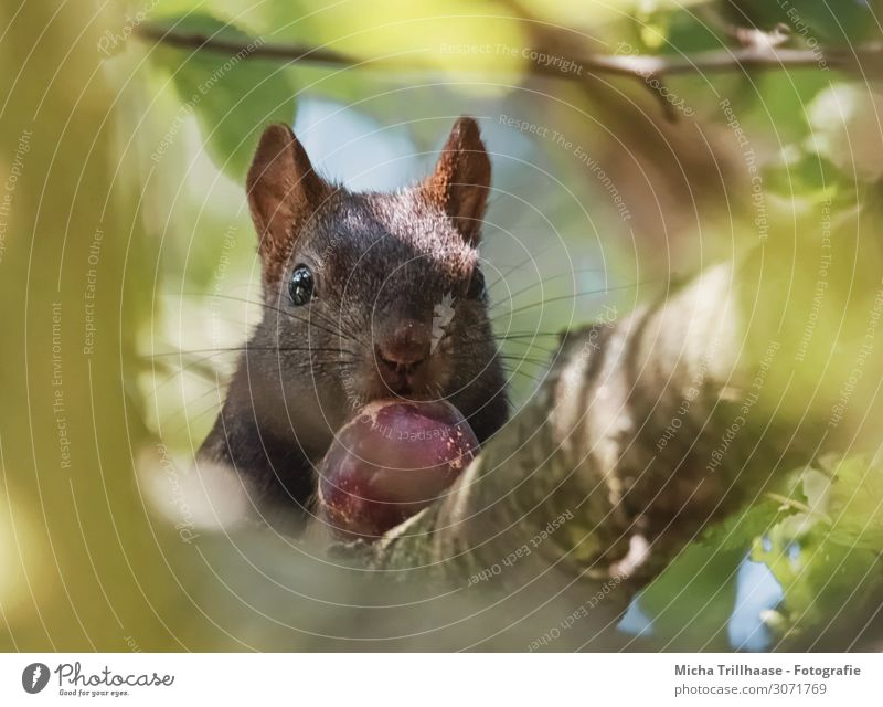 Squirrel with nut in tree Nature Animal Sunlight Beautiful weather Tree Twigs and branches Leaf canopy Forest Wild animal Animal face Pelt Head Eyes Nose Muzzle
