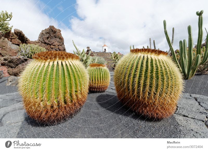 cactus Environment Nature Landscape Plant Cactus Esthetic Environmental protection Prickly bush Thorn Lava Lanzarote Deserted Windmill Round Green Colour photo