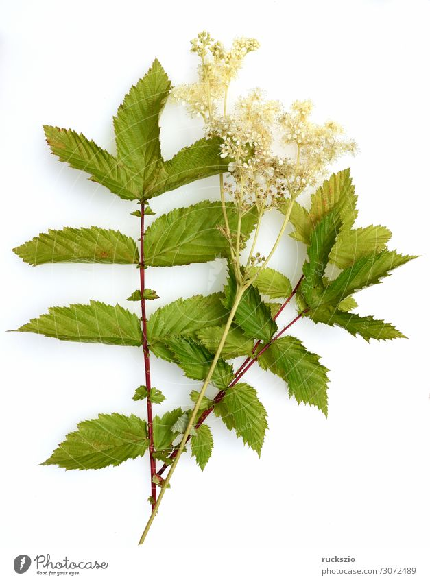 Filipendula, ulmaria, water plant, herb Nature Plant Blossom Wild plant Blossoming Authentic White maedesuess Aquatic plant Medicinal plant Meadow flower