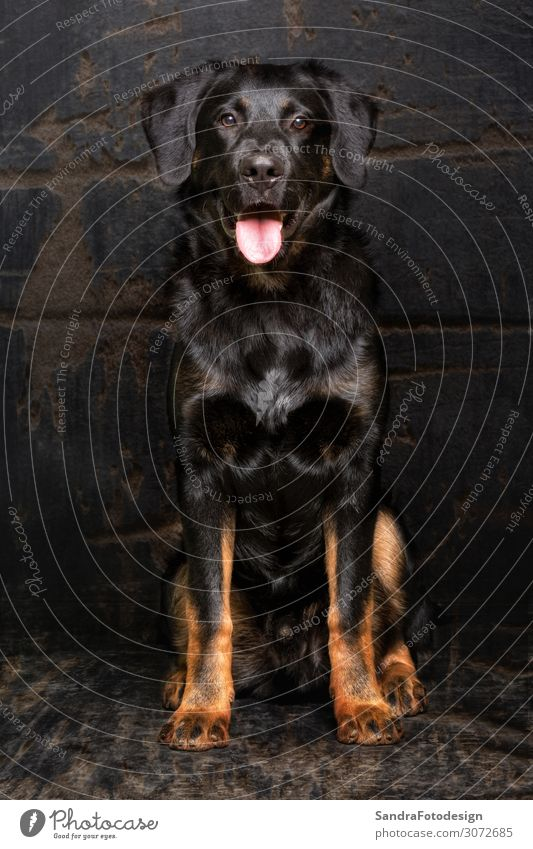 Appenzell sheepdog mixed breed Animal Dog Black Loyal Love of animals pet mammal hound purebred security shepherd Shepard guard protection brown canine For
