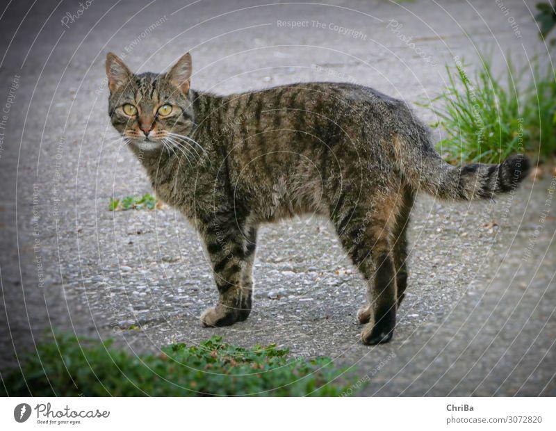 Tomcat Carlos Animal Pet Cat Paw 1 Concrete Emotions Happy Contentment Trust Sympathy Beautiful Serene Adventure Esthetic Elegant Domestic cat Tabby cat