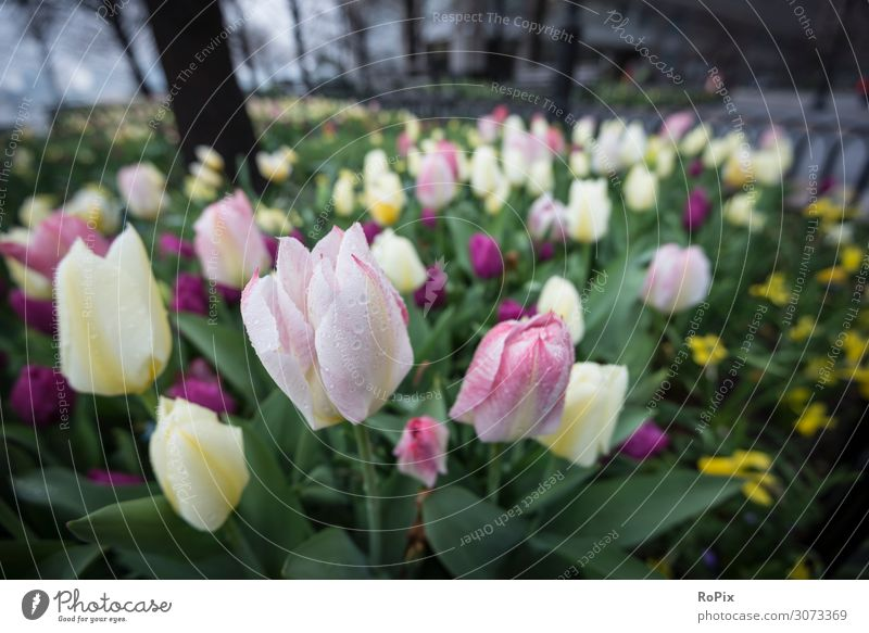 Tulips on a rainy day. Vacation & Travel Nature Plant Beautiful Landscape Flower Healthy Lifestyle Environment Blossom Spring Tourism Garden Moody Design