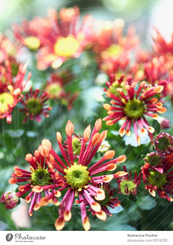 daisies Nature Plant Spring Summer Autumn Winter Flower Leaf Blossom Blossoming Illuminate Beautiful Yellow Green Pink Red Turquoise White Decoration