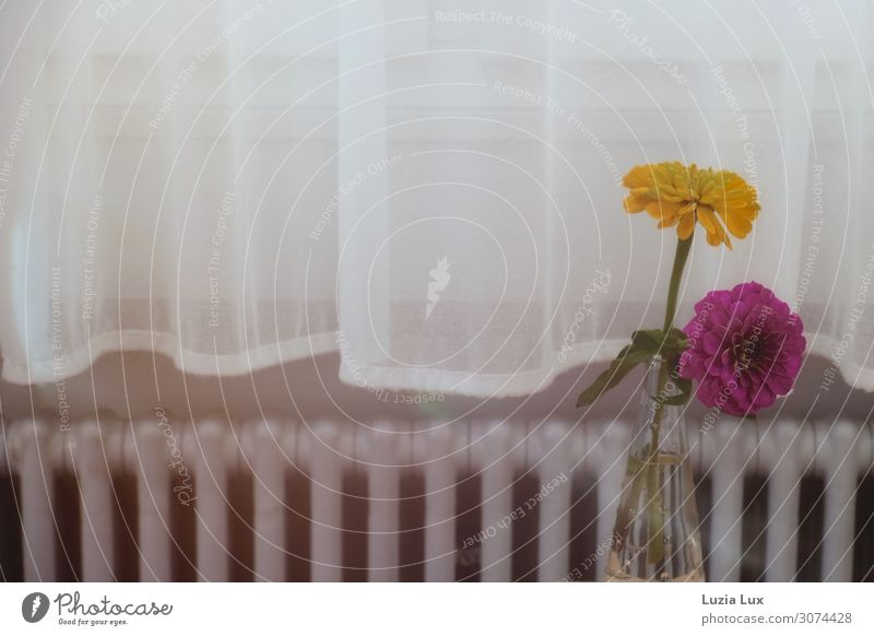 Still life, yellow and purple Flower Blossom Dahlia Window Heating Heater Old Esthetic Happiness Bright Yellow Pink White Contentment Living or residing Drape