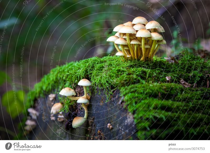 mushrooms Environment Nature Landscape Plant Autumn Moss Wild plant Mushroom Kuehneromyces mutabilis Forest Eating To enjoy Delicious Brown Yellow Green