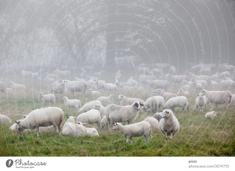 Määh Environment Nature Landscape Animal Spring Fog Meadow Pasture Farm animal Sheep Flock Group of animals Herd Cold Green White Wool Lamb Shepherd