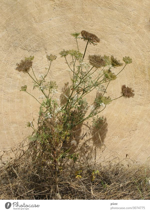 dried flowers Environment Nature Plant Summer Flower Grass Blossom Wild plant Village Deserted Wall (barrier) Wall (building) Facade Gloomy Dry Warmth Brown