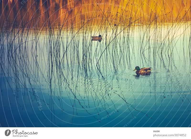 Common Teal Calm Swimming & Bathing Environment Nature Animal Water Autumn Weather Pond Lake Wild animal Bird Esthetic Free Blue Moody Contentment Together