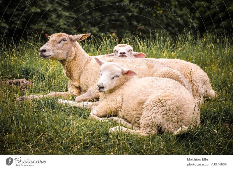 Group of sheep resting Summer Environment Nature Animal Grass Meadow Farm animal Pelt Zoo Petting zoo Sheep 3 Group of animals Baby animal Animal family