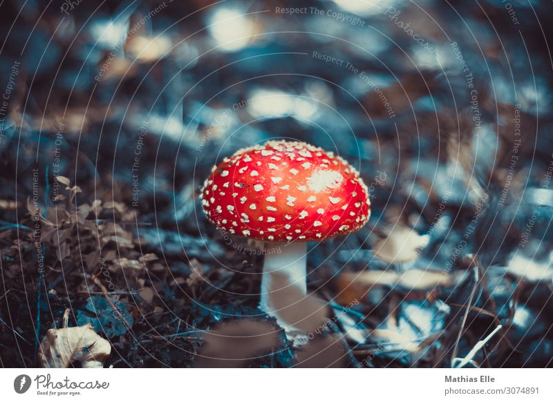 fly agaric Nature Plant Wild plant Mushroom Amanita mushroom Forest wood Dirty Disgust Exotic Firm chill natural Slimy Under Soft mushroom pick Poisonous plant