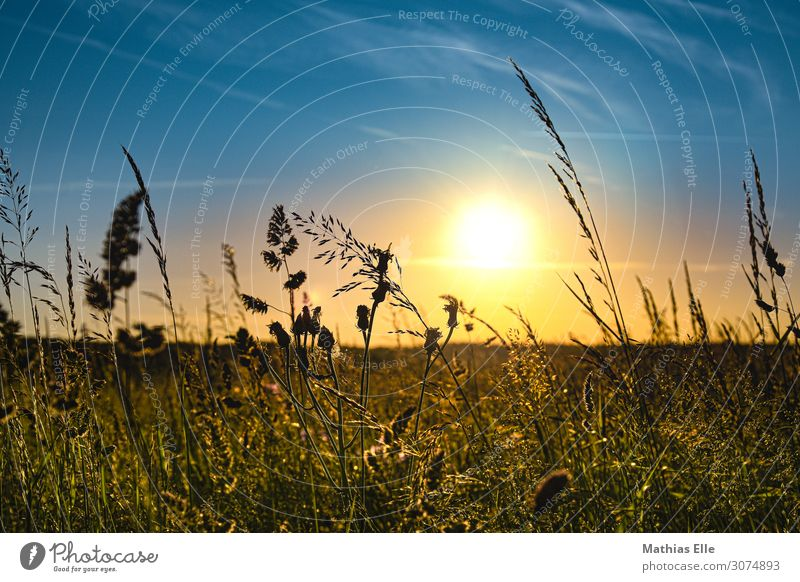 Grasses in the evening sun Landscape Sky Sun Sunrise Sunset Sunlight Summer Climate change Beautiful weather Warmth bushes Foliage plant Wild plant Meadow Field