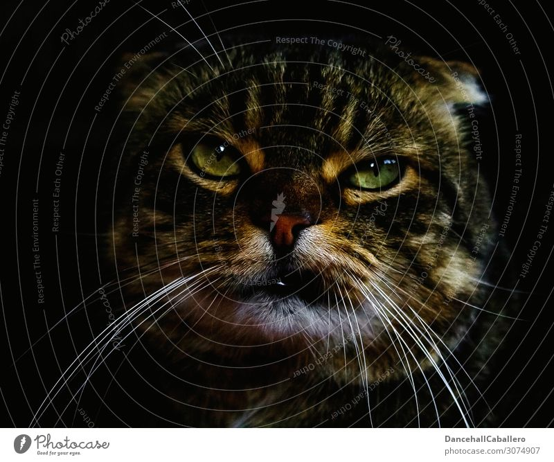 Portrait of a cat Cat Animal portrait Animal face Portrait photograph Pet Love of animals Cool (slang) Funny Cute Rebellious Emotions Moody Self-confident Force