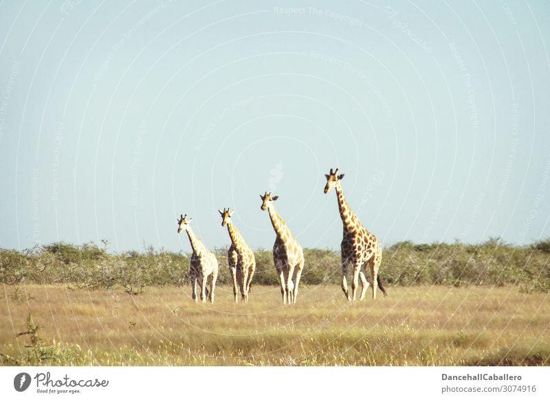 four generations... Vacation & Travel Tourism Adventure Safari Nature Animal Summer Beautiful weather Grass Bushes Wild animal Giraffe 4 Group of animals Herd