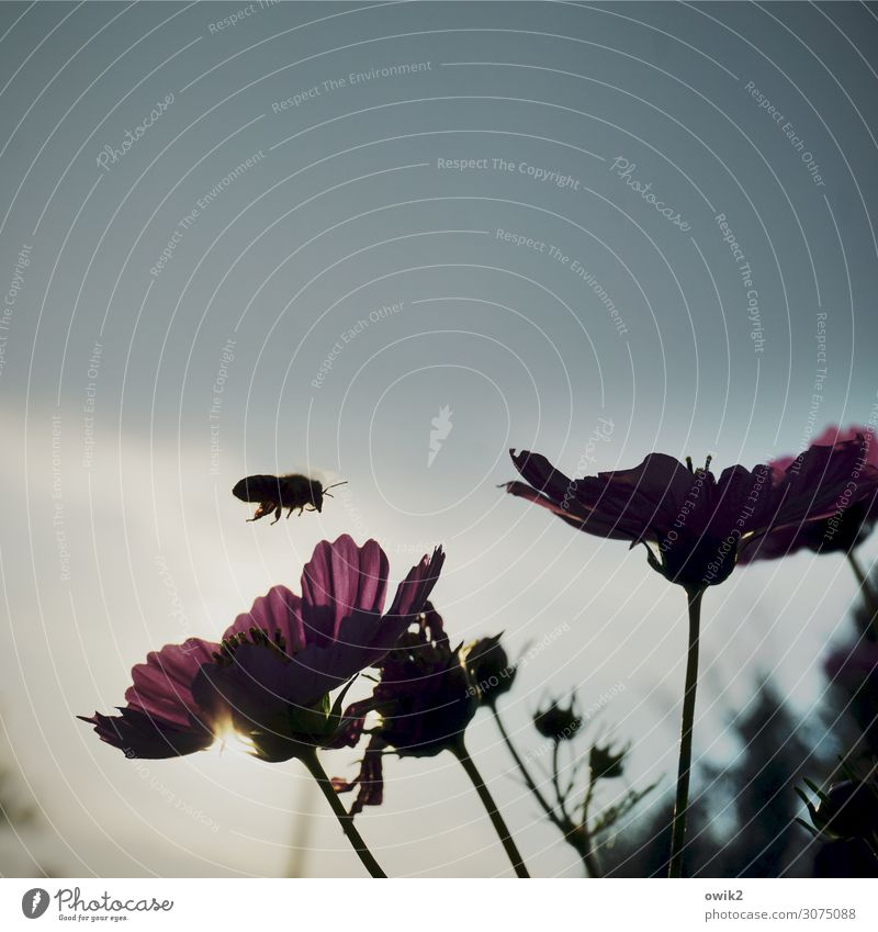 flight lane Environment Nature Plant Animal Summer Flower Blossom Cosmos Garden Meadow Bee 1 Flying Idyll Single-minded Target Landing Sprinkle Colour photo