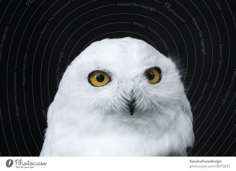 The head of a snow owl Zoo Nature Park Animal 1 Observe White plumage portrait north looking prey wildlife Wild snowy watching feather majestic bird endangered