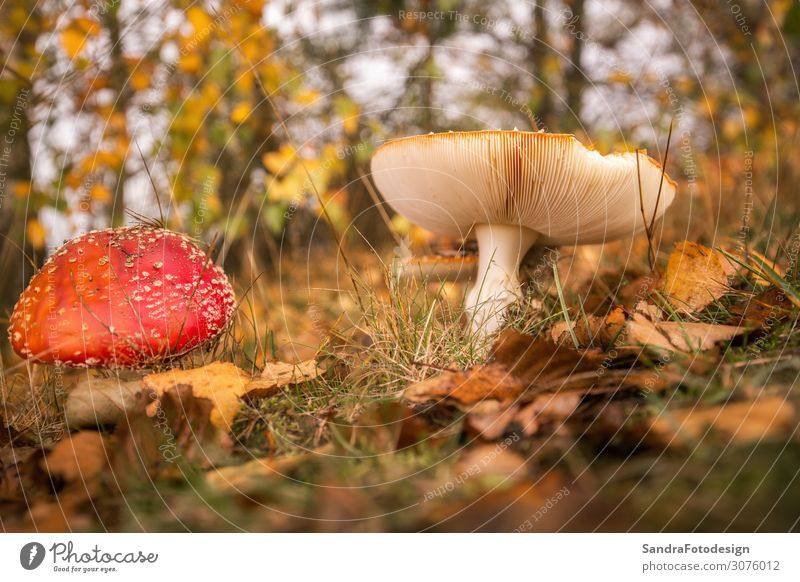 Mushrooms in the forest with foliage Leisure and hobbies Vacation & Travel Summer Garden Environment Nature Meadow Forest Observe Hiking Soft Yellow Gold Red