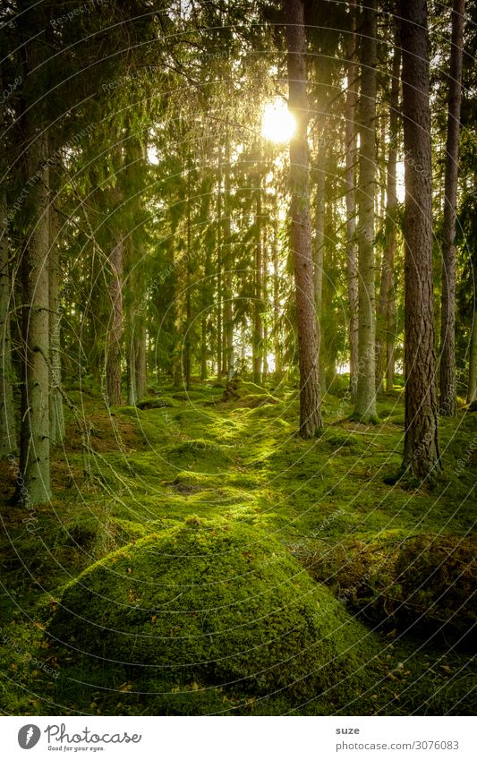 With the Hobbits Forest Swede vacation Hiking Freedom Environment Nature green Coniferous forest pines off Target Climate Healthy Human being Fairy tale
