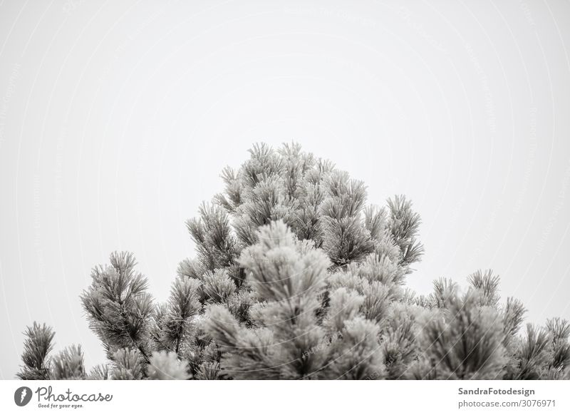 Branches of a fir covered with cones and snow Design Winter Snow Garden Christmas & Advent Nature Sky Forest Freeze Cold White green evergreen decoration needle