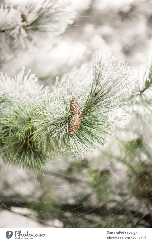 Branches of a fir covered with cones and snow Design Winter Snow Garden Christmas & Advent Nature Weather Ice Frost Forest Cold green evergreen decoration