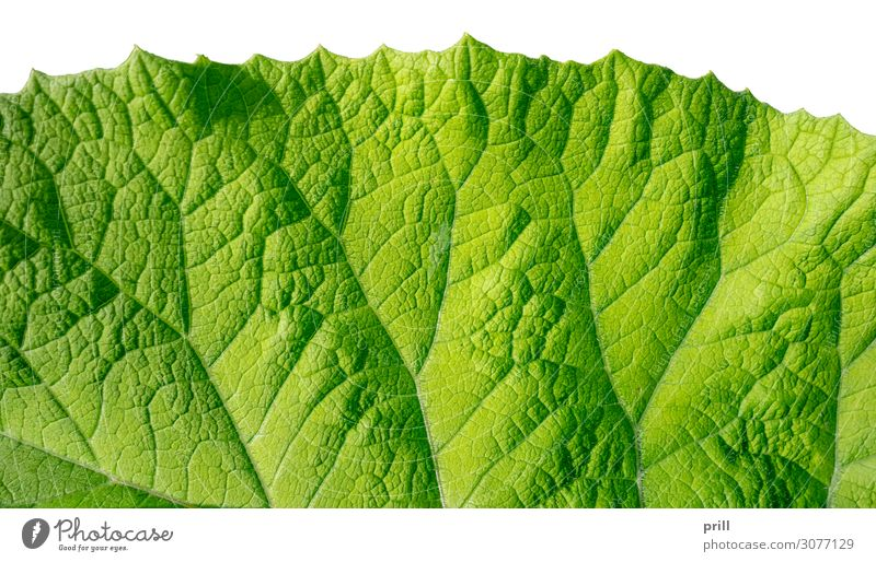 green leaf detail Flat (apartment) Nature Plant Leaf Fresh Juicy Green full-frame image semitransparent organic Natural Botany Surface Photosynthesis Leaf green