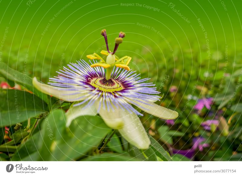 passion flower Nature Plant Flower Leaf Blossom Blossoming Violet Pink Passion flower Lively Blossom leave Natural Botany detail thriving variety Progress leafy