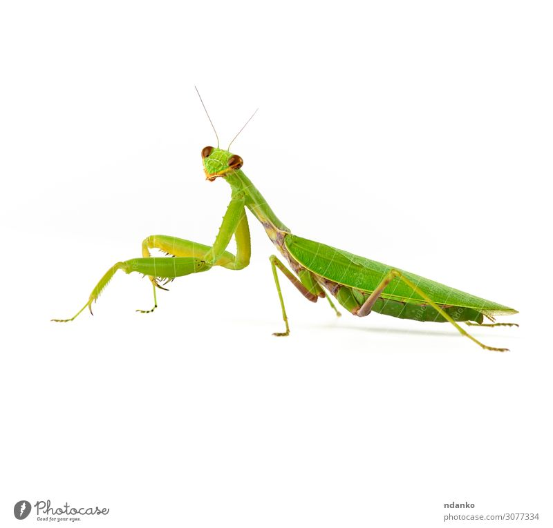 large green mantis on a white background looks at the camera Nature Animal 1 Stand Natural Wild Green White Bug eye fauna head Insect invertebrate leg one