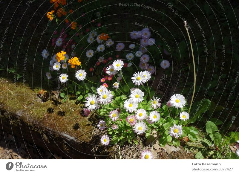 Daisies at the roadside Garden Nature Plant Spring Summer Beautiful weather Flower Grass Leaf Blossom Foliage plant Wild plant Daisy Dandelion Moss Park Meadow