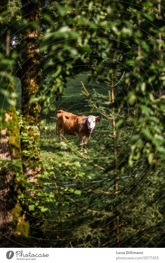 Brown cow in the forest Allgäuer Alps Cure Mountain Hiking Nature Landscape Animal Plant Tree Bushes Foliage plant Forest Farm animal Cow 1 Wild Green Serene
