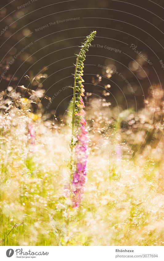 Fingerhat in shiny speckled light Nature Plant Sun Sunlight Spring Flower Grass Wild plant Meadow Fantastic Yellow Gold Moody Dream fairy light Exterior shot