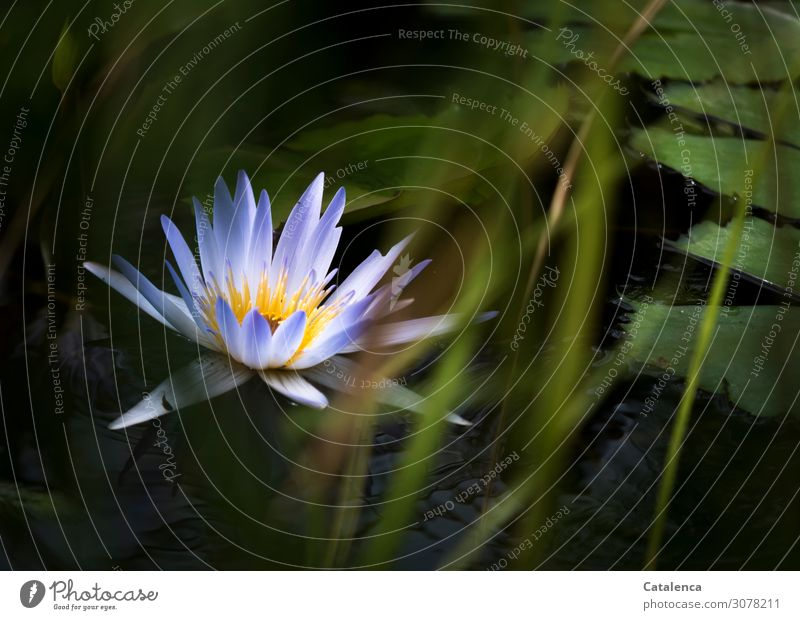A blue water lily Nature Plant Water Summer Flower Grass Leaf Blossom Exotic Water lily Aquatic plant Juncus water lily blossom Garden Lakeside Pond Blossoming