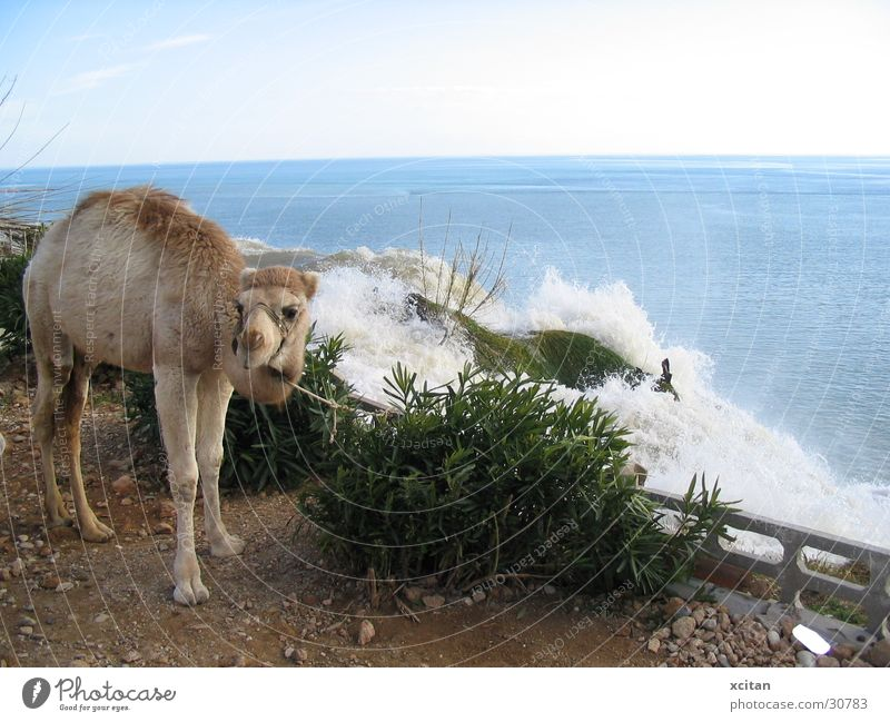 Ocean Waterfall Camel