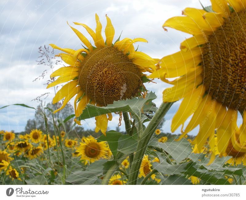Flower Summer Field Agriculture Sunflower