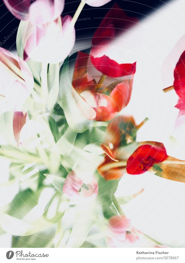 Tulips abstract Work of art Nature Plant Spring Summer Autumn Winter Flower Leaf Blossom Bouquet Blossoming Illuminate Yellow Gold Violet Pink Red Turquoise