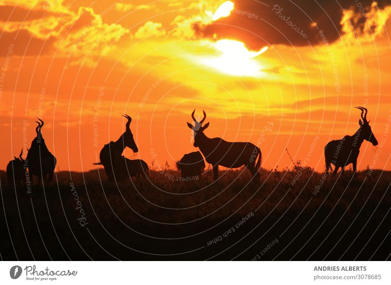 Red Hartebeest - Colors in Nature Environment Landscape Animal Elements Earth Sky Clouds Horizon Sun Summer Beautiful weather Warmth Park Wild animal