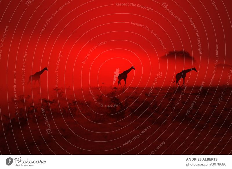 Giraffe Silhouette - Wondering through Red Elegant Senses Relaxation Calm Summer Environment Nature Landscape Animal Elements Earth Air Sky Night sky Horizon
