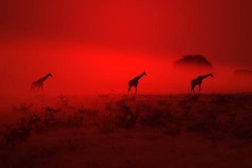 Giraffe Silhouette - Wondering through Red Elegant Senses Relaxation Calm Summer Environment Nature Landscape Animal Elements Earth Air Sky Night sky Horizon