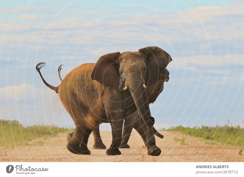 African Elephant - Trunks and Tusks of Power Vacation & Travel Nature Summer Beautiful Sun Relaxation Animal Calm Environment Tourism Exceptional Freedom Gray