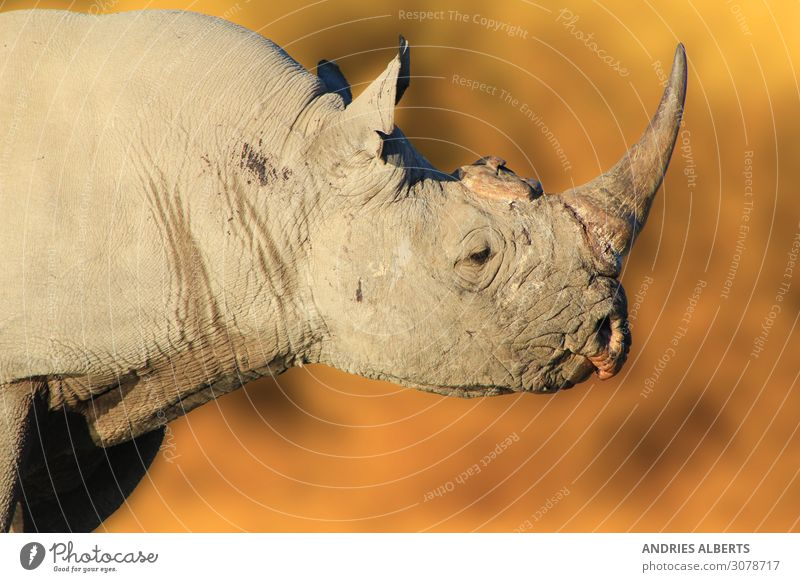 Black Rhino Bull - Endangered Powerhouse from Africa Life Vacation & Travel Tourism Trip Adventure Freedom Sightseeing Safari Expedition Summer Summer vacation