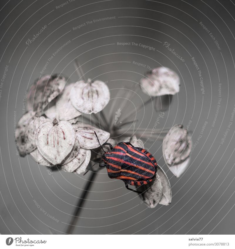 striped bug Environment Nature Autumn Plant Blossom Seed hogweed Umbellifer Animal Beetle Bug Insect 1 Crawl Small Red Black Contrast Structures and shapes