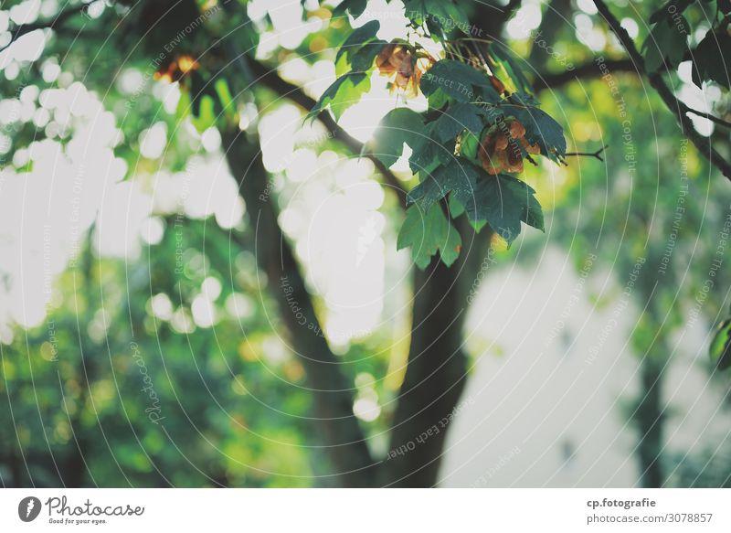 Nature Summer Plant Tree Leaf Warmth Bright Maple leaf Maple tree